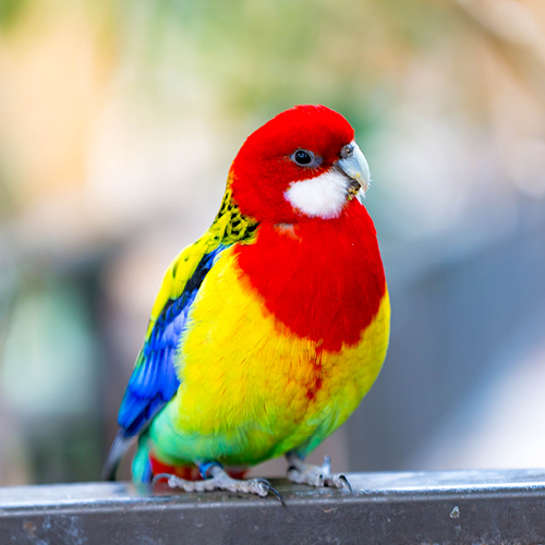 Colourful bird with a darker red colour head and lighter yellow, blue and green body