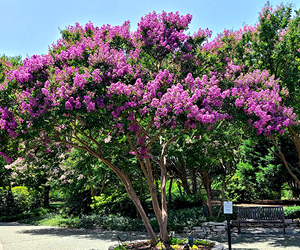 Lagerstroemia indica cultivars – crepe myrtle tree in bloom
